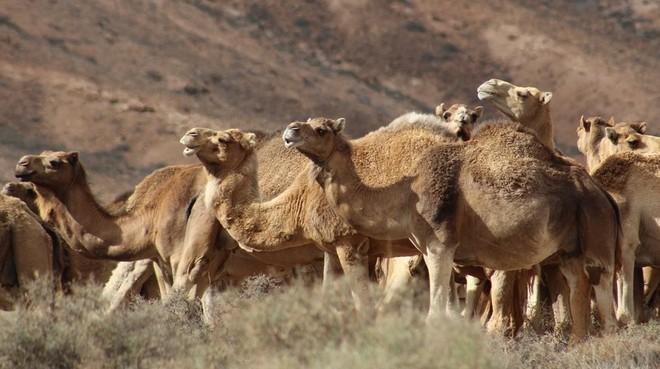 Leche de camella: el futuro de los lácteos