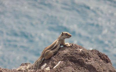 The Fuerteventura squirrels