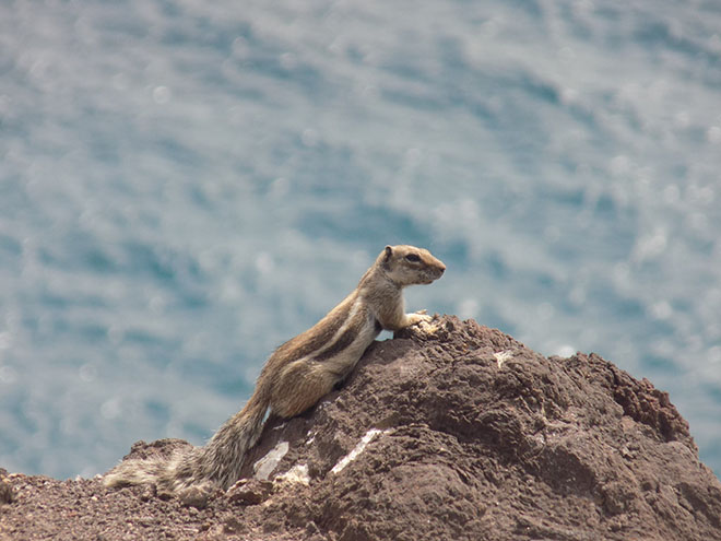 The Fuerteventura squirrels