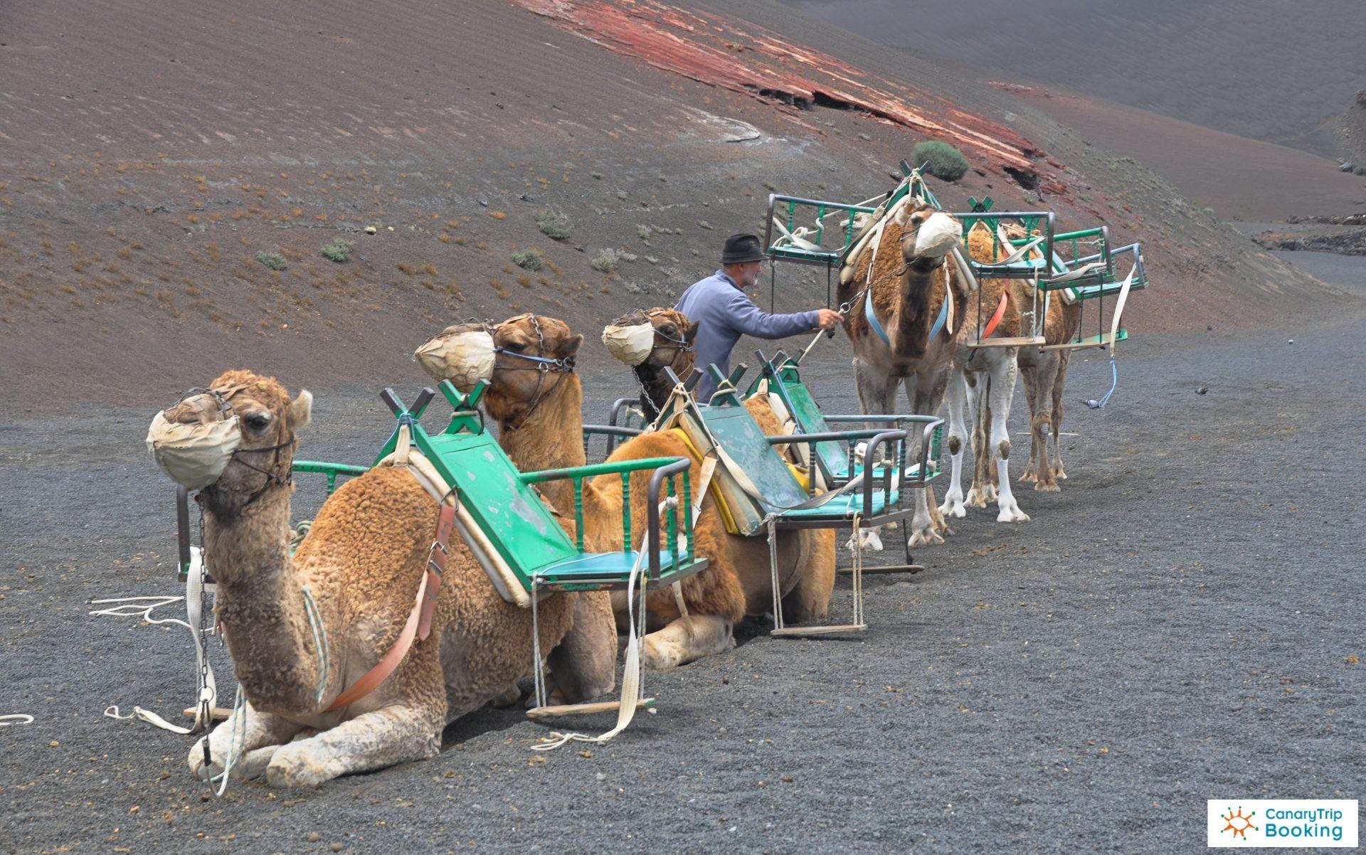Camellos 3