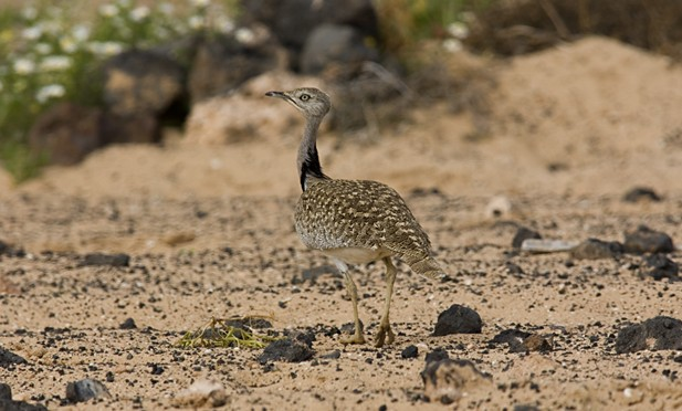 Ornithological tourism in Lanzarote: El Jable