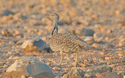 Avistamiento de aves en Fuerteventura